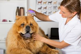 picture of chow-chow  - Canine hairdresser in a beauty clinic with Chow Chow - JPG