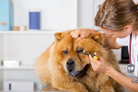 foto of chow-chow  - Veterinary inspecting the eyes of a dog Chow Chow in clinic - JPG