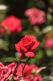 picture of rosa  - Red rose - JPG