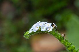 stock photo of heliotrope  - Blur focus closeup flower of Heliotropium indicum herb - JPG