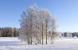 pic of snow forest  - Grove of trees on a wintry and snowy meadows - JPG