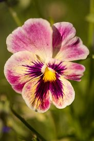 picture of viola  - Purple Viola Tricolor Pansy flowers with natural Green background - JPG