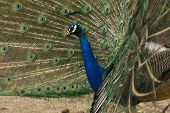 Peacock With Tail Spread
