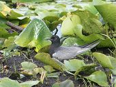 Tern Black On Nest
