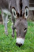 stock photo of martha  - A donkey grazes on grass on a farm on Martha - JPG