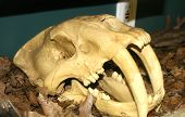 stock photo of sabertooth  - Skull Of A Sabertooth Cat From The Prehistoric Age - JPG