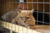 Lonely Red Cat With A Sad Look, Lying On Cage In Shelter And Waiting For Owner With Home. Concept Of poster