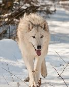 Large Wolf Walking