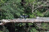 Little Pied Cormorant Bird With Spread Wings Sitting On Tree Log In The Forest. Cormorant Sea Bird A poster