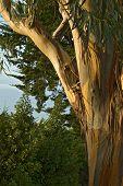San Francisco Eucalyptus