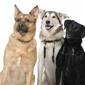 Three Crossbreed Dogs