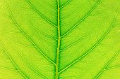 Green Leaf Texture Or Leaf Background. Close Up Green Leaf. Nature Of Green Leaves. Tree Leaves Natu poster