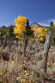 Mountains, Aspens, Fence Posts