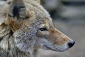 Wolf, Or Gray Wolf, Or Ordinary Wolf (lat. Canis Lupus). Wolf - One Of The Largest Modern Animals In poster