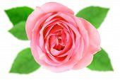 Enkele roze bloem van Rose
