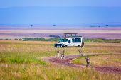 Cheetah family runs between tourist jeeps - safari. Wild animals in natural habitat. Safari - tour t poster