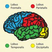 Brain, cerebral hemisphere lobes with Latin names