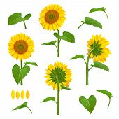 Sunflowers Illustrations. Garden Botanical Yellow Beauty Sunflowers With Seeds Vector Floral Backgro poster