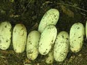 Gator Eggs
