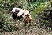 Mithun - Wild bull