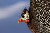 Colorful Guinea Hen