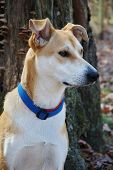 Carolina dog, American Dingo,