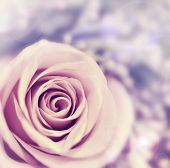 Dreamy rose abstract background, beautiful fresh violet flower, floral style image, closeup on natur