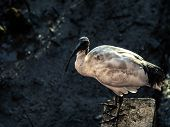 Australian White Ibis Standing On Concrete Base, Looking For Its Prey On Muddy Terrain. poster