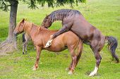 Sex In Nature. Stallion And Mare. Sex Stallion With A Mare. poster