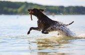 Jumping On The Water Splashing, Happy Dog Is Playing With The Stick, Hold In Mouth On Sunny Day. Mus poster