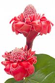 Tropical Flower Torch Ginger Against White Background