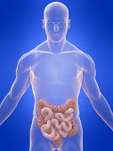 Human Colon And Intestines