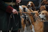 stock photo of foxhound  - dogs waiting for a fox hunting with their owner - JPG