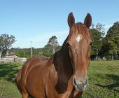 Horse In Paddock At Willawarrin