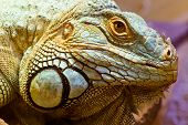 Head portrait of a green iguana with focus to the eye and showing scale and texture detail