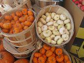 lots of little pumpkins for sale