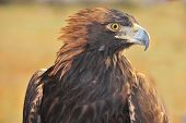 stock photo of northern hemisphere  - The Golden Eagle  - JPG