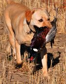 pic of bird-dog  - Golden Labrador with Pheasant in month on retrieve.