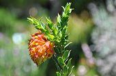 Liparia Splendens (mountain Dahlia)