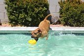 Pitbull caught mid-jump into pool