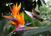 stock photo of jungle birds  - Flying Hummingbird at a Strelitzia flower in Costa Rica - JPG