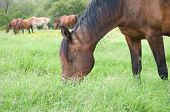 Happy dark bay horse grazing in lush knee deep grass in summer, with a herd of horses in the backgro
