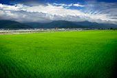 Granja de arroz verde y cielo azul