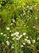 Field Camomiles In A Dense Green Grass