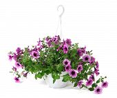 Purple petunia in flowerpot isolated on white
