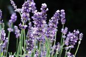 Hidcote Blue Lavender Blooming