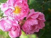 Prairie dawn roses