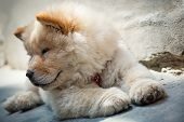 foto of chow  - Portrait of a young puppy chow chow - JPG