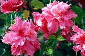 image of plant species  - Hibiscus is a genus of flowering plants in the mallow family - JPG