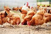 stock photo of poultry  - Chickens on traditional free range poultry farm